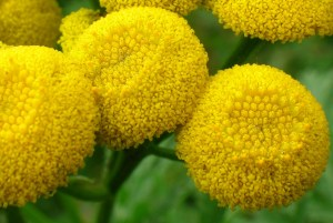Tansy, or golden buttons.